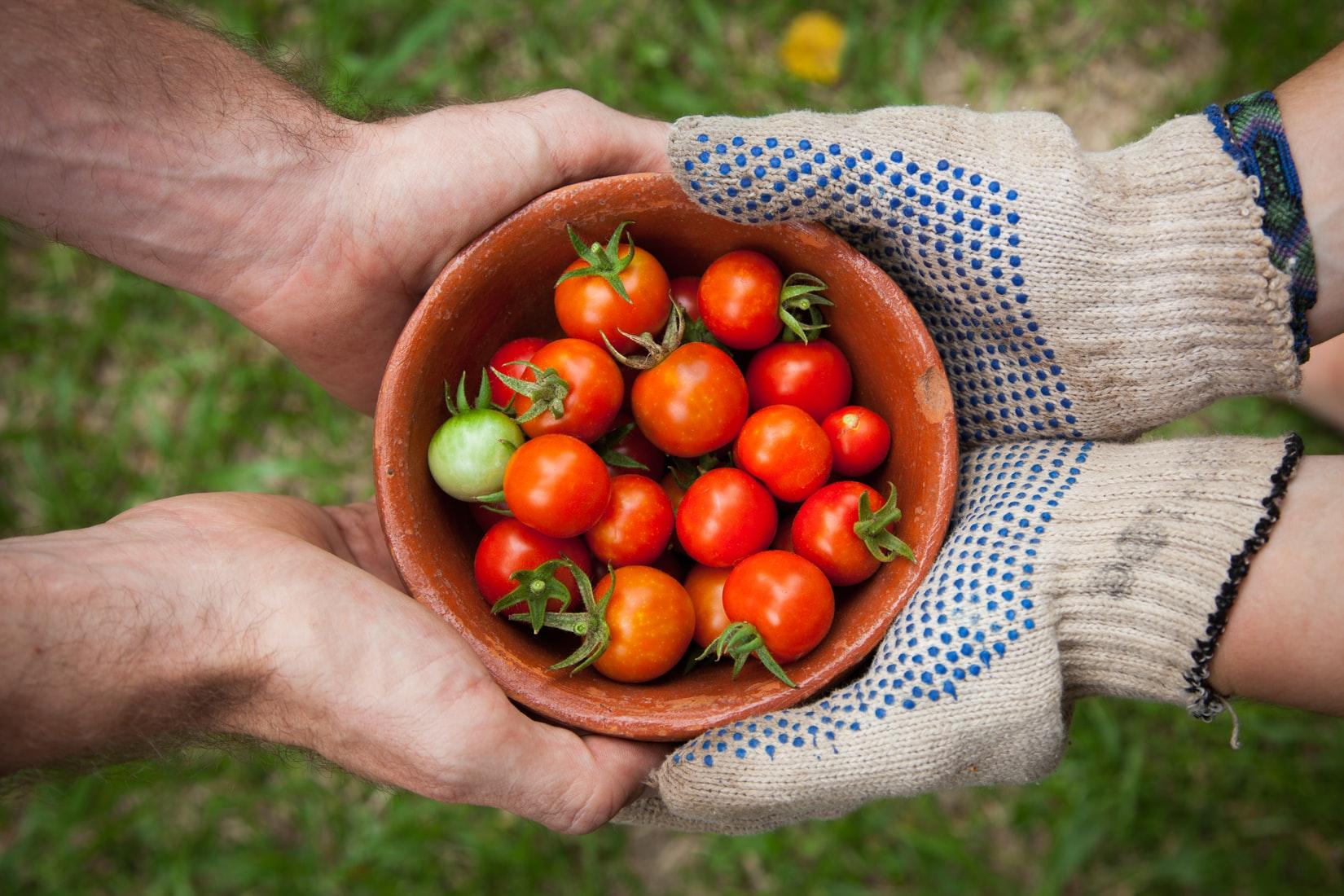 庭で採れた新鮮な赤いトマト